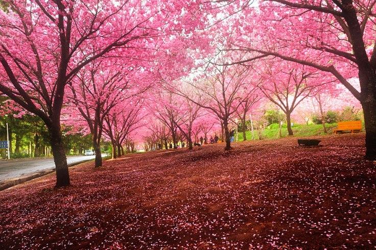 cherry-blossoms-sakura-spring-5.jpg