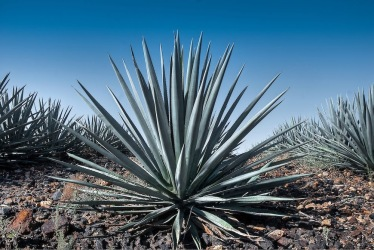 AllAnimeMag tequila Agave