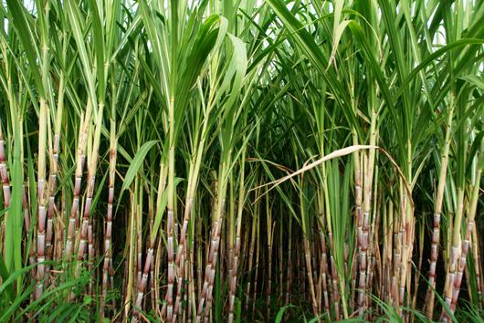 Sugar-Cane1